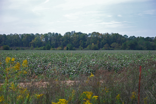 cotton-field-alabama-river-10-19-2007-copyright-jje3.jpg