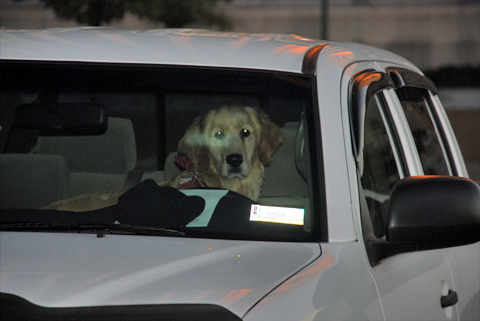 Amazing Golden Retriever Can Drive copyright 2008 jje3